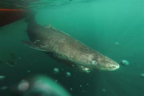 Is This Greenland Shark Nearly 400 Years Old?
