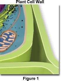 Quia - Cell Organelle Pictures