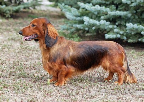 Dachshund Dog Breed Information, Buying Advice, Photos and