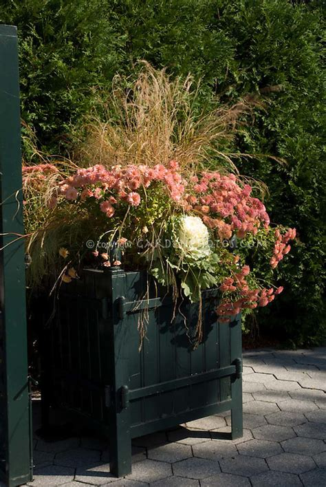 Fall winter container garden with kale, chrysanthemums